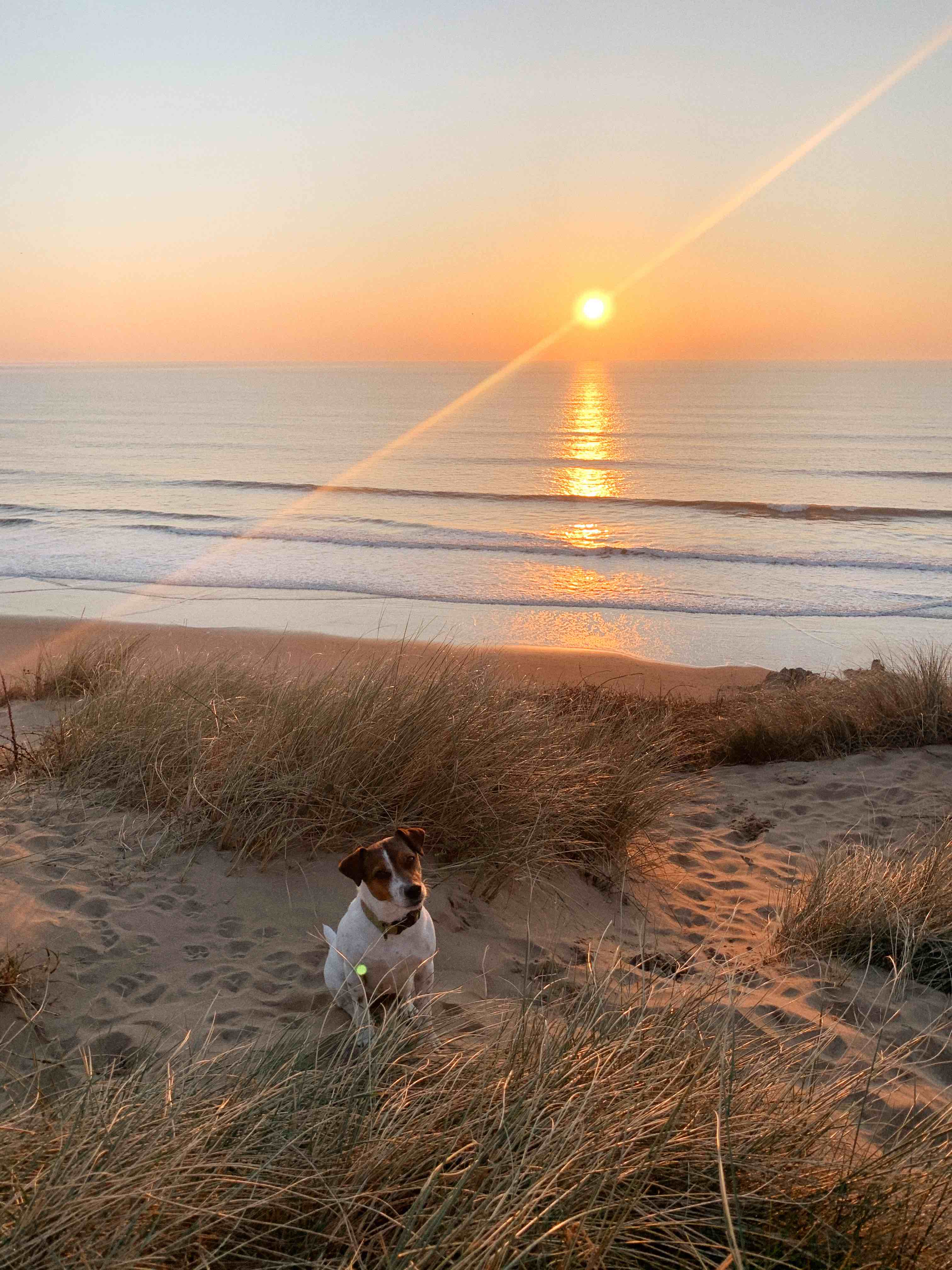 Jack Russel dog in sand dunes with sunset Woolacombe beach